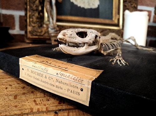 Squelette de lézard Boubée début XXème