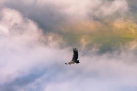 Un vautours
