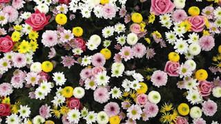 SF28 Flower Variety