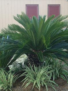 Palm Trees Destin Florida