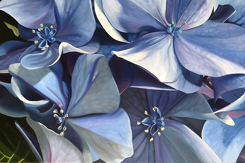 Summer Blues  - Hydrangea