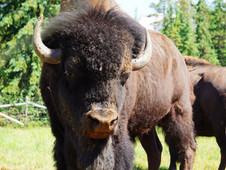 Buffalo Joy