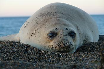 Seal Peninsula Valdes