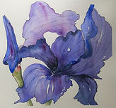A Delicate Iris