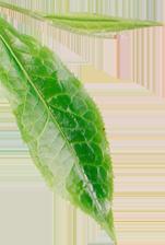leaf-1.png