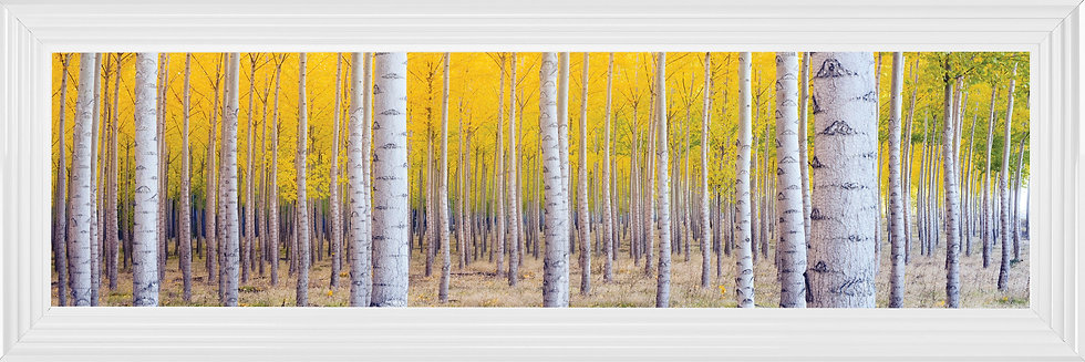 Forest of Silver Birch Trees