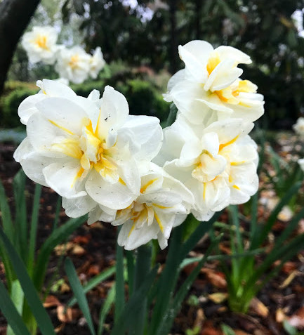 Double-blooming daffodils