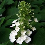 Oakleaf Hydrangea (Hydrangea quercifolia)