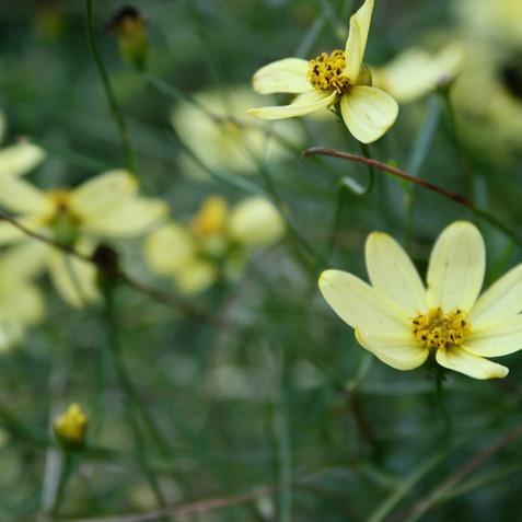 Tickseed - Coreopsis