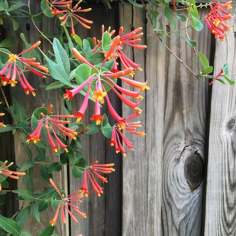 Lonicera sempervirens - Trumpet Honeysuckle