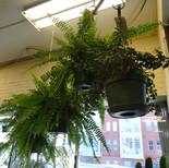 Indoor tropical ferns