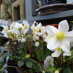 Varierty of Hellebores