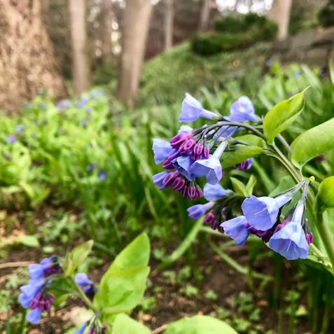 Mertensia virginica - Virginia Bluebell