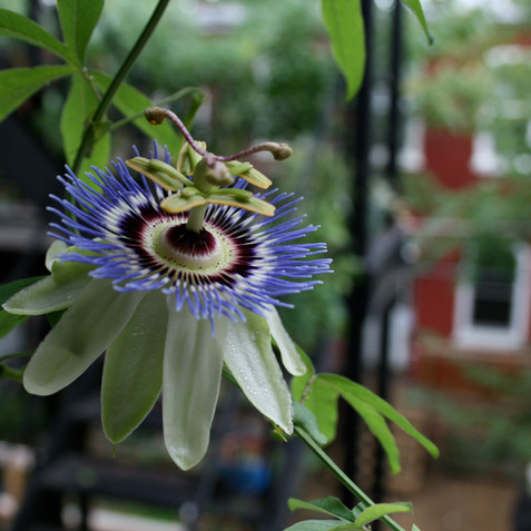 We are passionate about passion flowers
