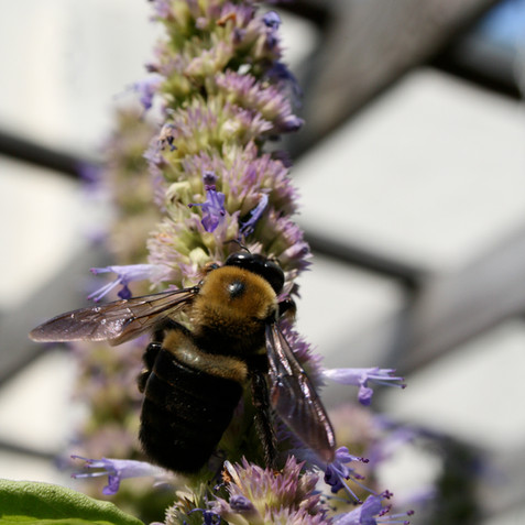 Pollinator plants - Agastache foeniculum (anise)