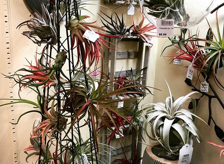 The Wonderful World of Tillandsias (Air Plants)