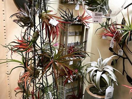 The Wonderful World of Tillandsias (Air Plants)