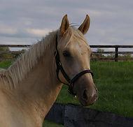 Palomino Thoroughbred Stallion Technigold
