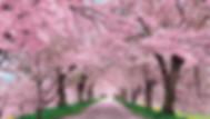 korea cherry blossom tours