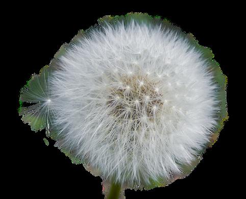 dandelion-3160651_1920.png