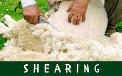 Shearing Schedule