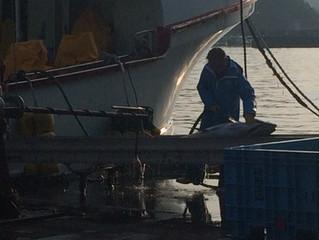 近海マグロ延縄船「第十一良栄丸」 第13回目(今年度2回目)の操業を終えて、5月26日(日)に水揚げを行います。