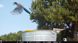 Pinon Jay in flight.