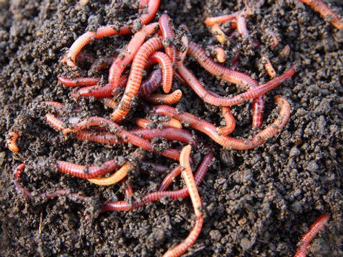 Red wigglers only
