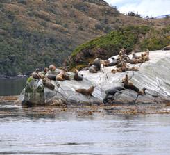 Lobos de mar