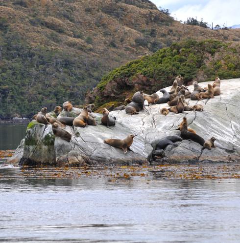 colonia de lobos de mar