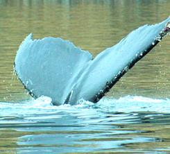Ballena Estrecho de Magallanes