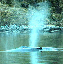 ballena soplo