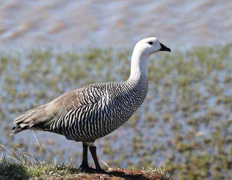 Upland_Goose,_near_Punta_Arenas,_Chile.j
