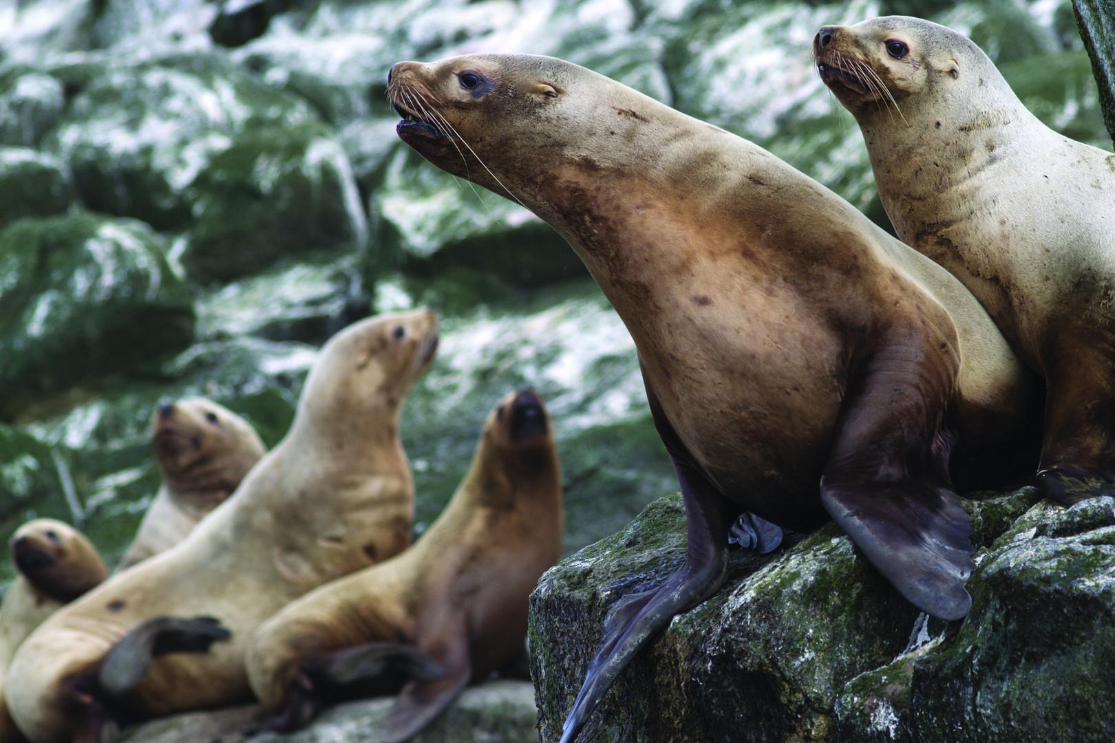 Sea Lions Marta Island