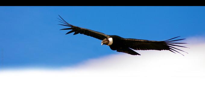 Vultur_grphus.jpg