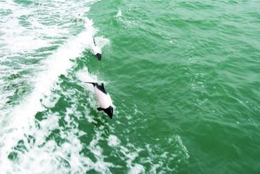 Toninas overas Estrecho de Magallanes