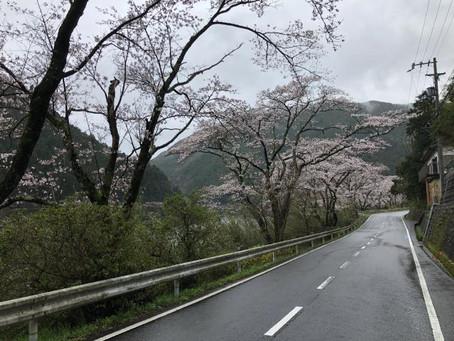 桜の花が咲いてきました・・・