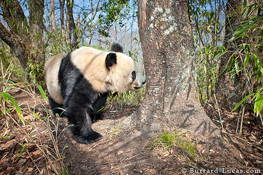 panda_qinling_mountains.jpg