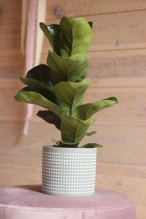 Ficus lyrata (incl. potje)