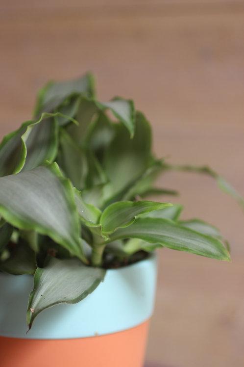 Callisia fragrans (incl. potje)