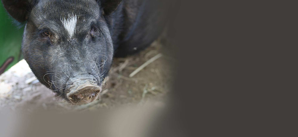 animals-pig.jpg