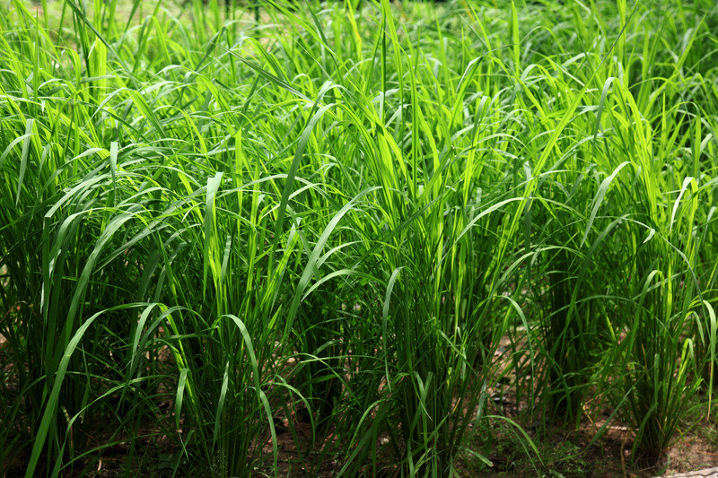 Thai Lemongrass-Mint White Balsamic Vinegar