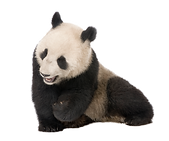 panda1109.png