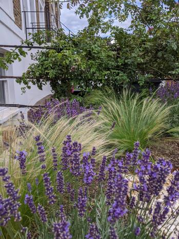 Taryn Ferris Garden Design - Planting Detail - Stipa tenuissima and Lavender - Islington Front Garden