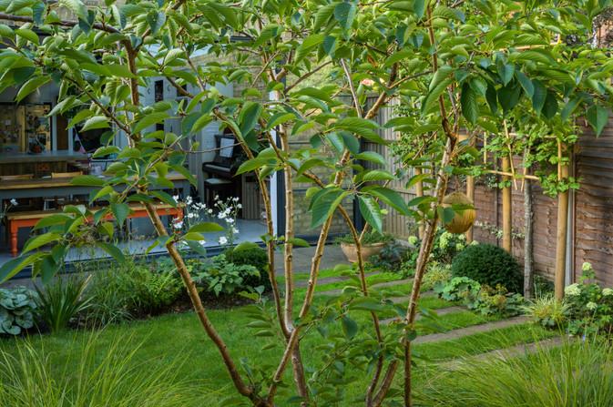 Taryn Ferris Garden Design - Prunus x yedoensis multistem tree - Tuffnell Park Family Garden