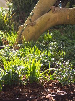 Taryn Ferris Garden Design - Front Garden Magnolia tree underplanting spring - Highbury Hill