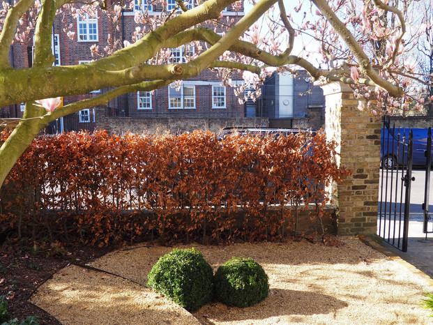 Taryn Ferris Garden Design - Front Garden Fagus purpurea hedge, gravel, and Magnolia - Highbury Hill