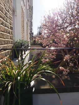 Taryn Ferris Garden Design - Front Garden Magnolia tree and window boxes in spring - Highbury Hill