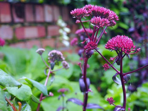 Taryn Ferris Garden Design - Hylotelephium 'Purple Emperor'  - Finsbury Park Courtyard Garden