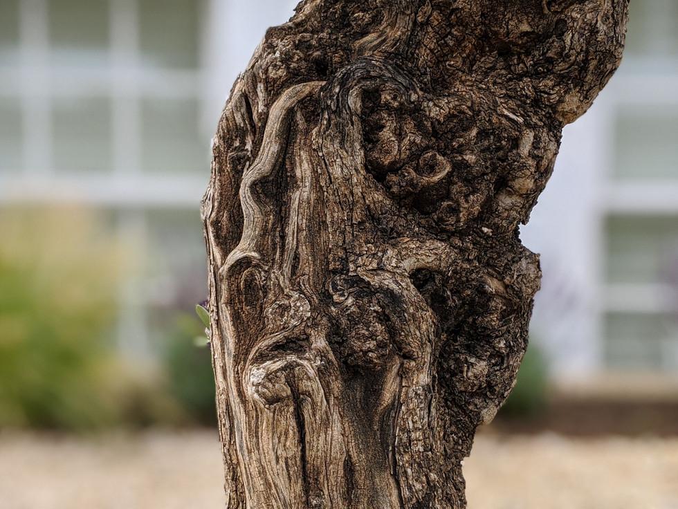 Taryn Ferris Garden Design - Planting Detail Knarled Old Olive Trunk  - Islington Front Garden